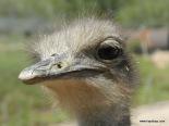 Ostrich - Oudtshoorn