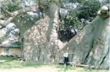 Big Baobab Tree Tzaneen