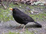 Blackbird-male